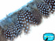 Baby Blue Guinea Hen Plumage Feather Trim