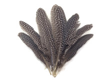 Natural Polka Dot Guinea Fowl Wing Quills Wholesale Feathers