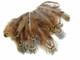 Short wispy unique pheasant feathers