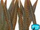 "12-14"" Natural Golden Pheasant Tail Wholesale Feathers (Bulk)"