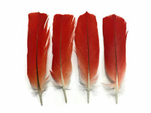 4 Pieces - RED African Grey Parrot Wing Feathers - rare-