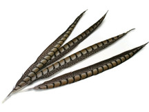 Tall brown striped craft feathers