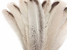 Beautiful high quality wild turkey royal palm wing feathers perfect for crafting, projects, fashion, masks, and decor.