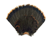 1 Complete Tail Fan - Grade A Natural Merrium Wild Turkey Tail Feathers