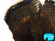 1 Complete Tail Fan - Grade B Natural Merrium Wild Turkey Tail Feathers