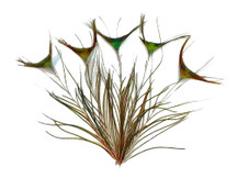 "10 Pieces - 10-12"" Natural Green Peacock 'T' Curved Tail Feathers"