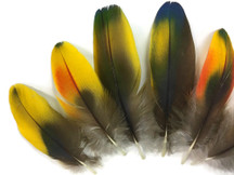 Yellow Iridescent Scarlet Macaw Body Plumage Feathers