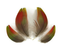 4 Pieces - Green and Red Iridescent Scarlet Macaw Body Plumage Feathers