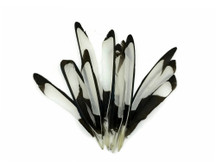 10 Pieces - Natural Black and White Laced Hen Wing Quills Feathers