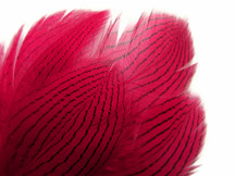 1 Dozen - Claret Silver Pheasant Feathers