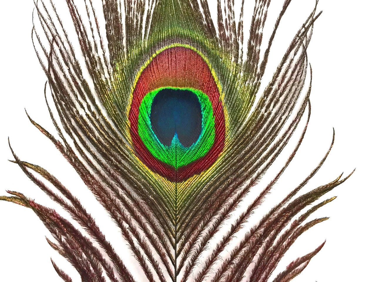 White craft feathers bulk - 100 Pieces 10 12 Natural Peacock Tail Eye Wholesale Feathers Bulk
