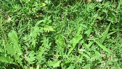 overgrown-lawn-weeds-7.jpg