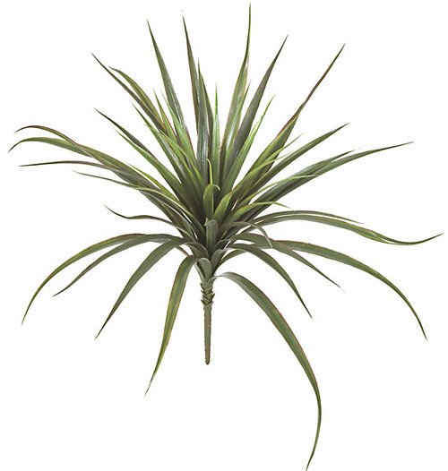 26 Inch Yucca Plant
