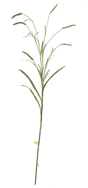 8 Foot Foxtail Spray with Leaves - Green/Mauve