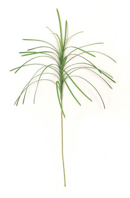 30 Inch Monkey Grass (SOLD PER PIECE)