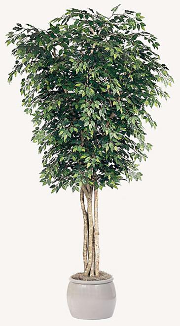 12 Foot Custom Ficus Tree