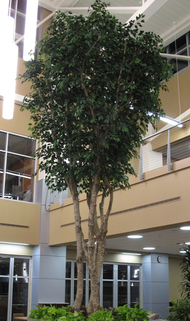 20 Foot Custom Commercial Ficus Tree