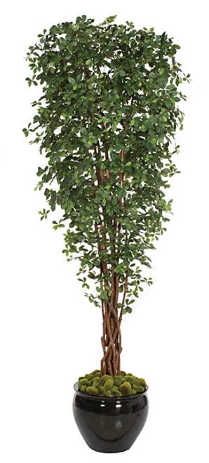 10 Foot Black Olive Tree