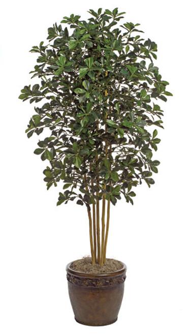 Black Olive Trees, 7 or 10 Feet Tall