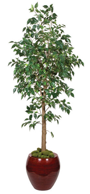 benjamina ficus tree 6 or 7 feet tall - Ficus Trees