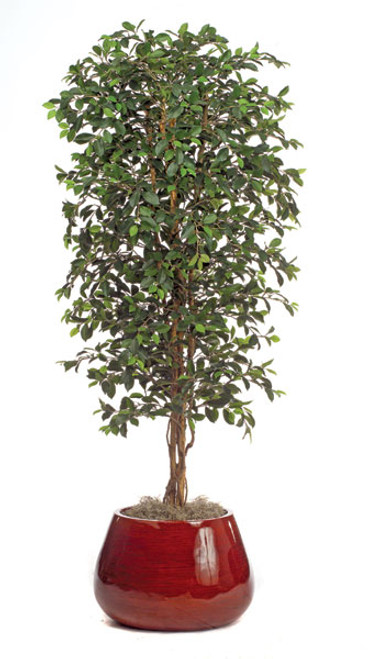 6.5 Foot Ficus Retusa Tree