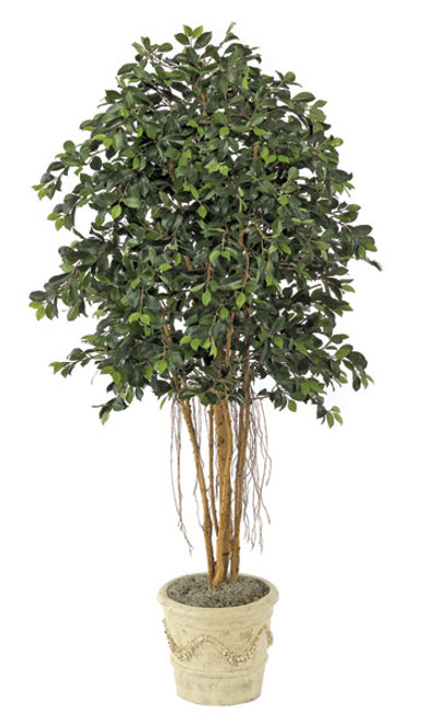 6.5 Foot Ficus Tree with Air Roots