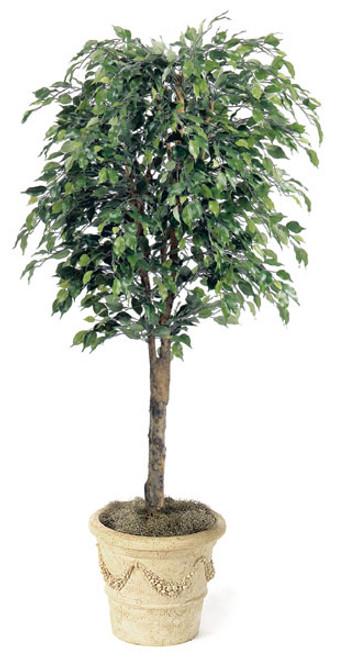6.5 Foot Ficus Tree