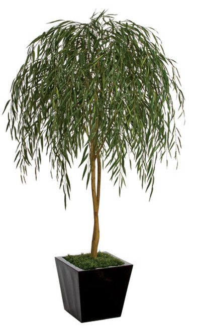 7 Foot Weeping Willow Tree