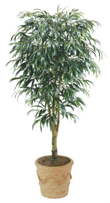 8 Foot Ficus Alii Tree