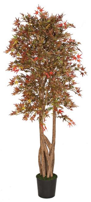 6.5 Foot Mini Japanese Maple Tree