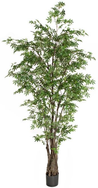 7 Foot Japanese Maple Tree