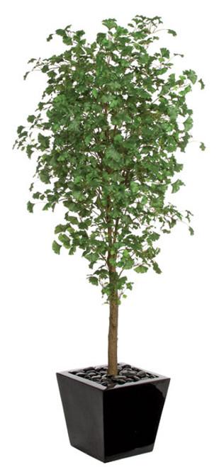 7 Foot Gingko Tree