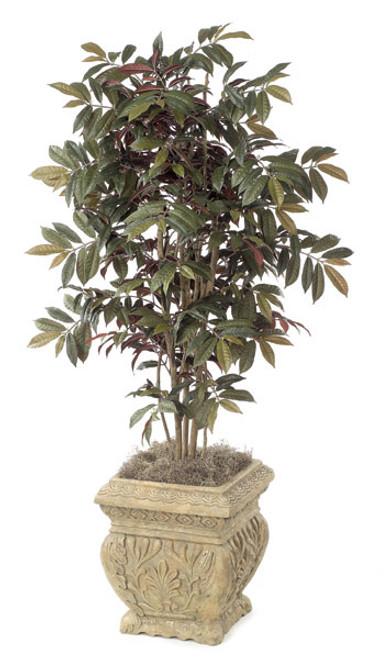 4.5 Foot Capensia Tree