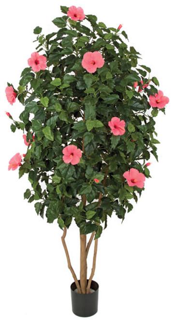 5.5 Foot Hibiscus Tree