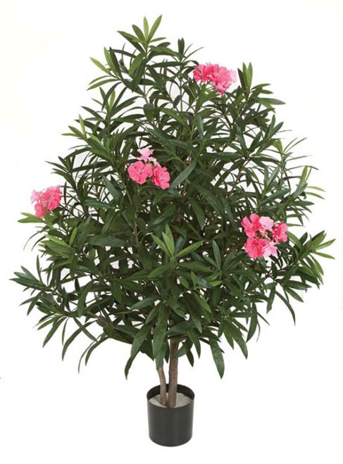 4.5 Foot Oleander Tree