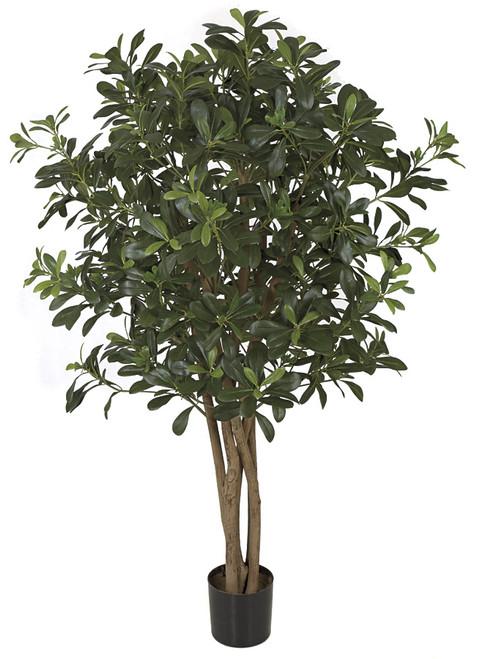 4 Foot FR Pittosporum Tree