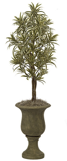 4 Foot Dracaena Reflexa Tree