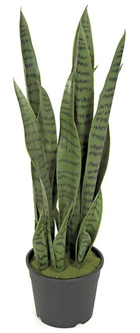 26 Inch Sansevieria Plant