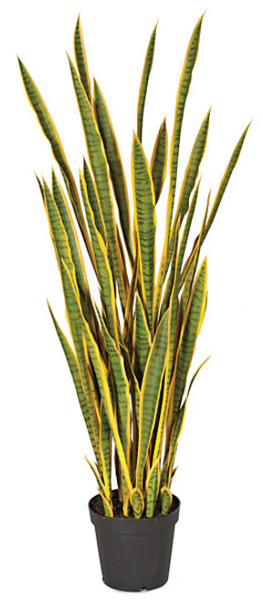 5 Foot Sansevieria Plant - Green/Yellow