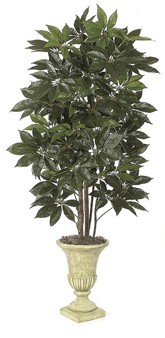 8 Foot Schefflera Tree