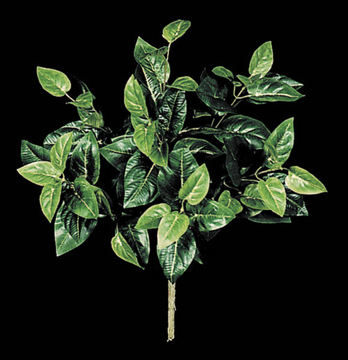 17 Inch Philodendron Plant