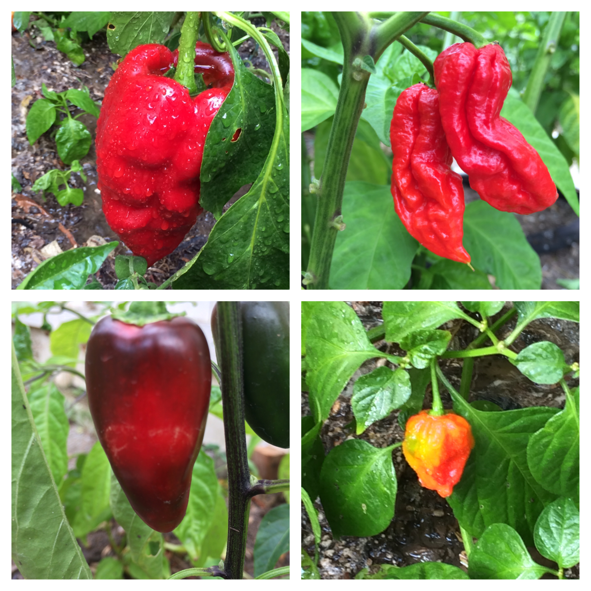 poblano-ghost-jalapeno-red-savina-pepper-tyler-farms.jpg