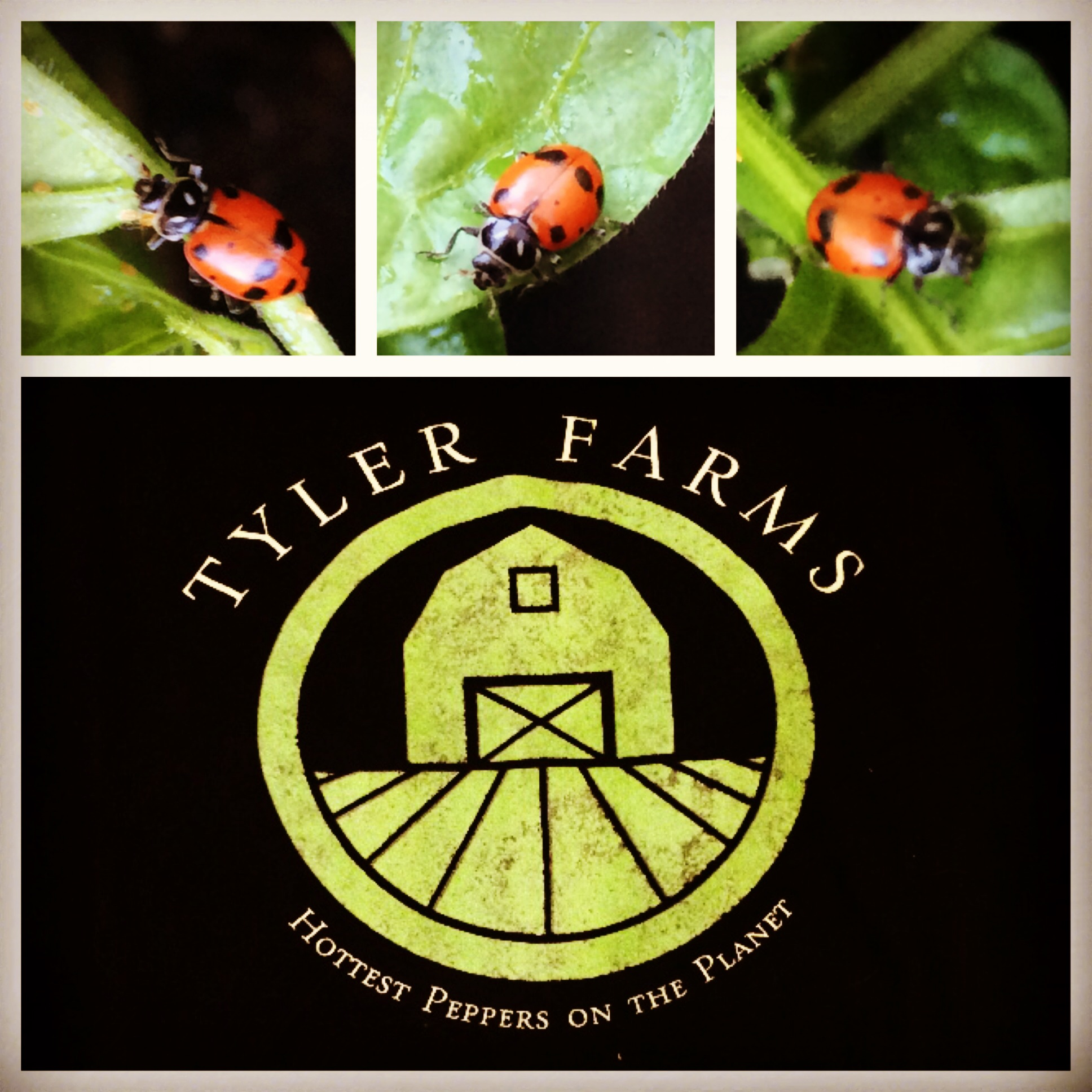 tyler-farms-ladybugs.jpg