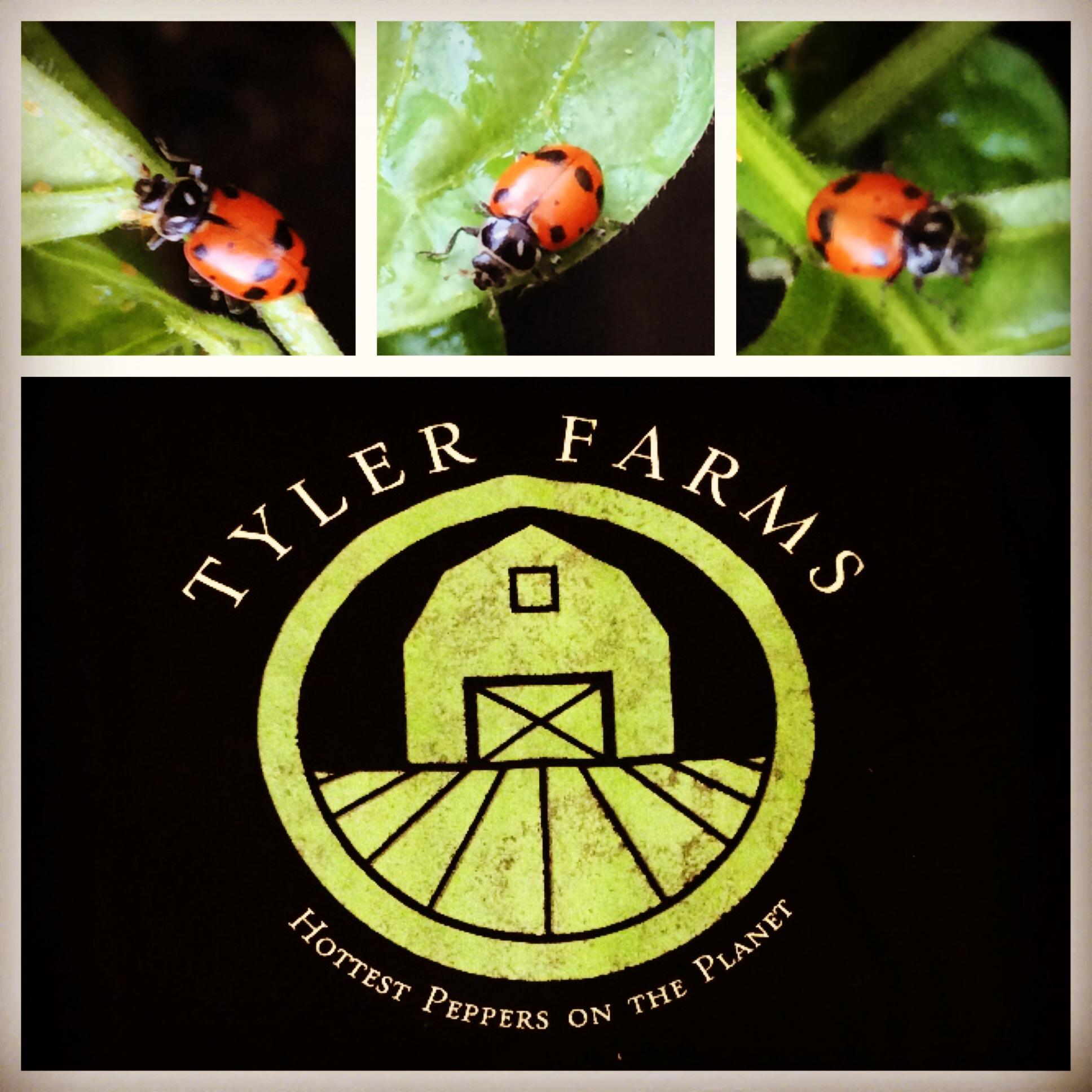tyler-farms-ladybugs.jpg