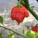 Carolina Reaper Pepper | Tyler Farms