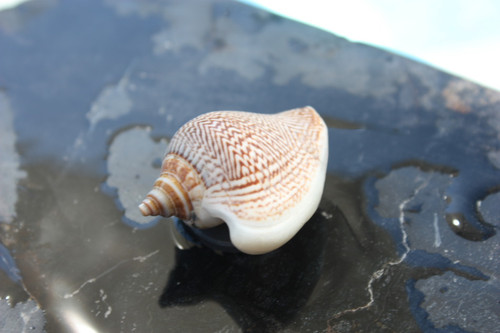 Seashell Magnet #9 - Coastal Decor
