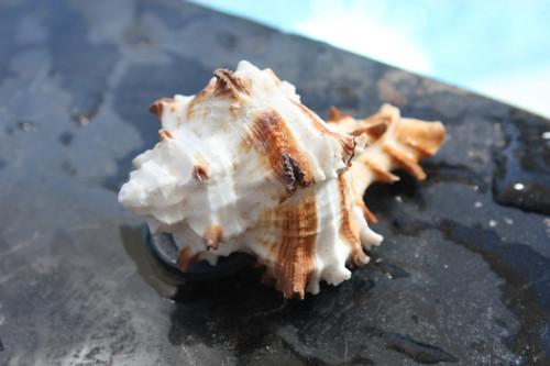 Seashell Magnet #1 - Coastal Living