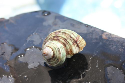 Seashell Magnet #5 - Coastal Decor