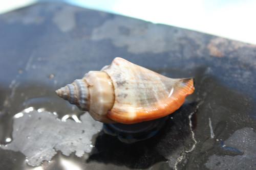 Seashell Magnet #7 - Coastal Decor
