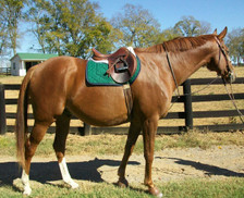 Skylar in His Hunter Green Saddle Pad